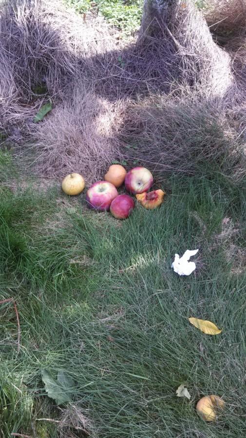 Fallen apples!